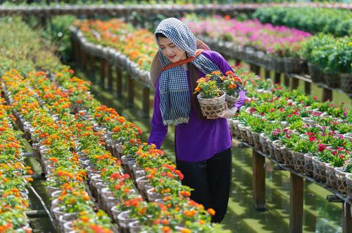 Những làng hoa nức tiếng vào vụ thu hoạch